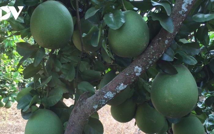 Giá bưởi Tết giảm mạnh khiến nhà vườn lo lắng