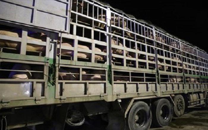 4 doanh nghiệp nhập khẩu lợn sống qua Cửa khẩu Lao Bảo không qua kiểm dịch đã bị xử phạt và tạm dừng đưa hàng về
