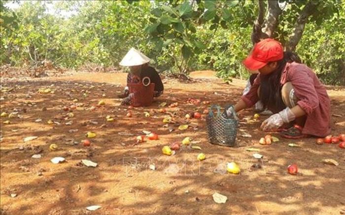 Điều rớt giá khiến nông dân lo lắng