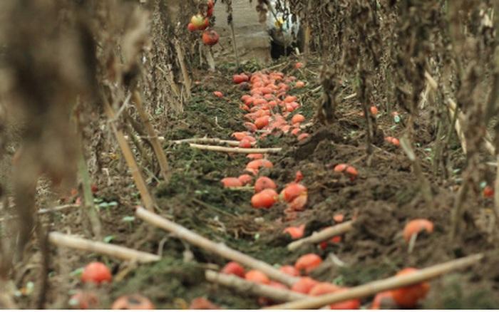 Giá quá rẻ, nông dân Hà Nội vứt bỏ củ cải, cà chua...đầy đồng vì ế ẩm