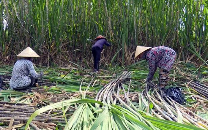Áp thuế đường Thái Lan, giá mía trong nước tăng ngay 200.000 đồng/tấn